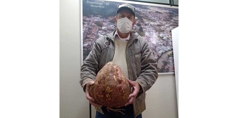 BATATA GIGANTE: Secretário que também é agricultor colhe batata-doce com mais de cinco quilos